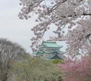 満開桜と名古屋城