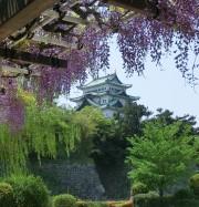 名古屋城と八尺藤